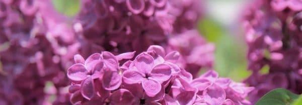 Kringle Candle Fresh Lilac świeca zapachowa (411g)